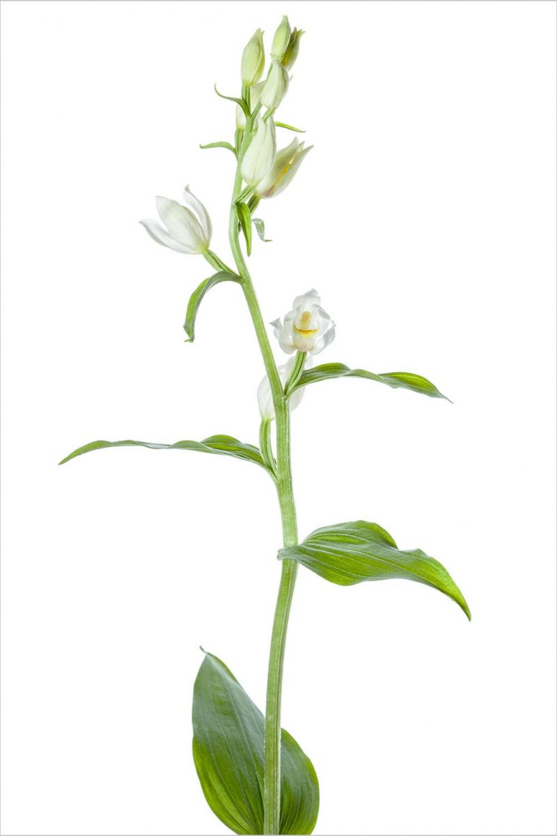 Weißes Waldvögelein  Cephalanthera damasonium
