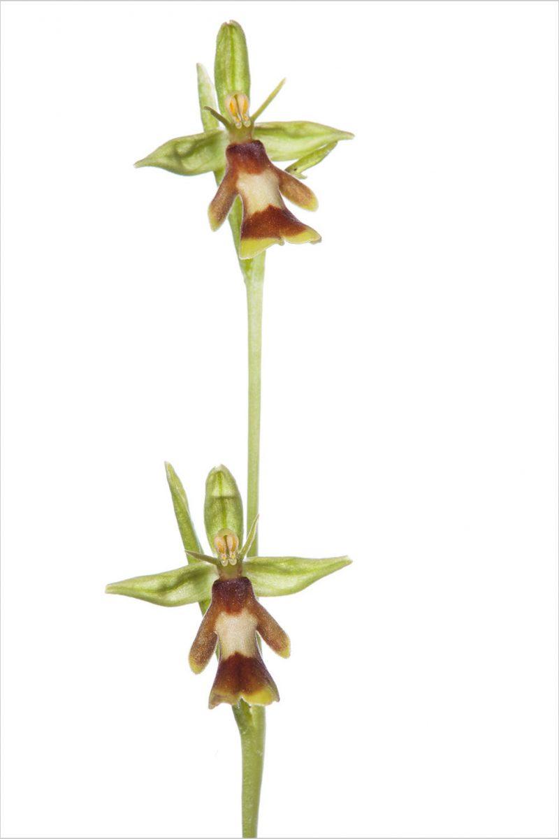 Gelbrandige Fliegen-Ragwurz  Ophrys insectifera