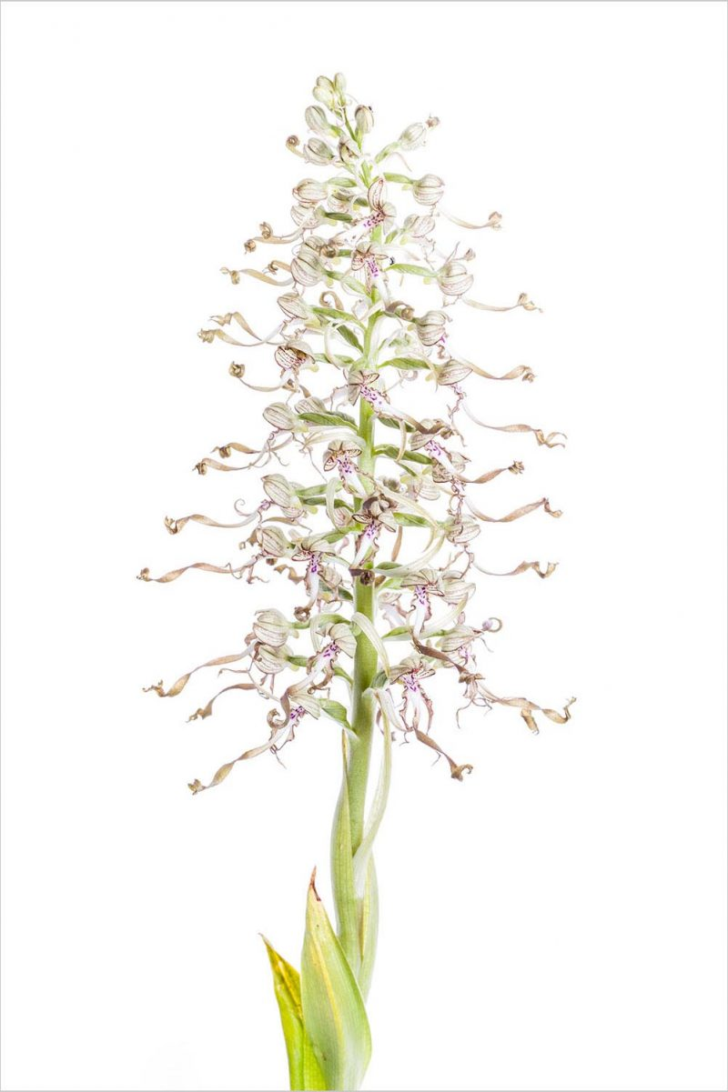 Bocks-Riemenzunge Himantoglossum hircinum